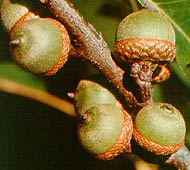 pin oak fruit
