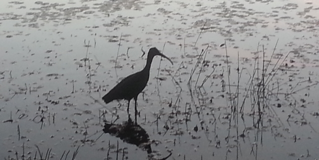 Water bird in the pond